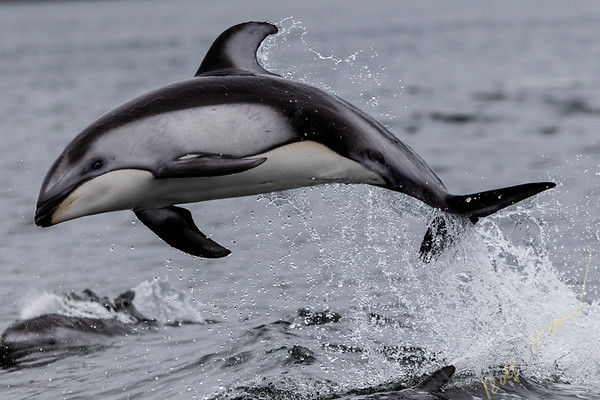 Pacific-white-sided dolphin (Lagenorhynchus obliquidens) jumping in Thompson Sound, along the Great Bear Rainforest, British Columbia coast, First Nations Territory, Canada.