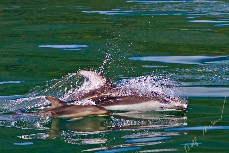 Wild Pacific White Sided Dolphins, mother with baby, travelling with high speed in the waters of Knight Inlet, British Columbia, Canada.