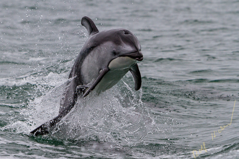 Pacific whitye-sided doplphin jumping along the Broughton Archipelago, First Nations Territory off Vancouver Island, British Columbia, Canada.