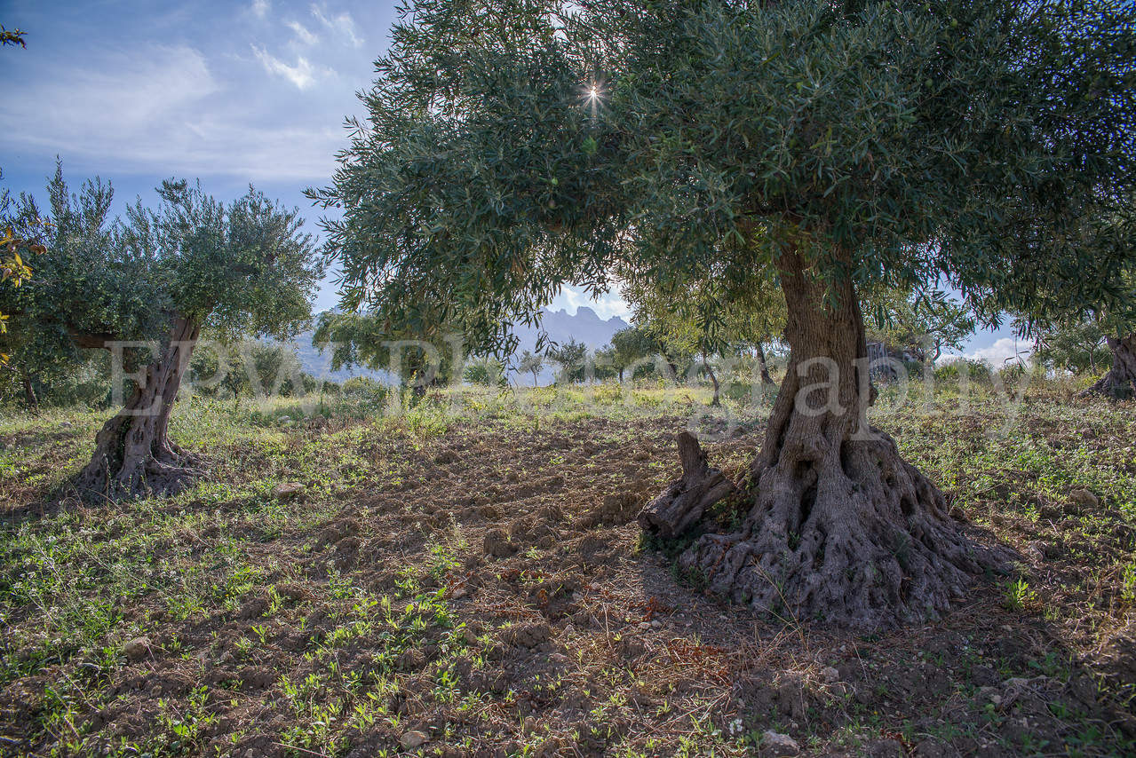 Fratelli Colleti Olive Tree II