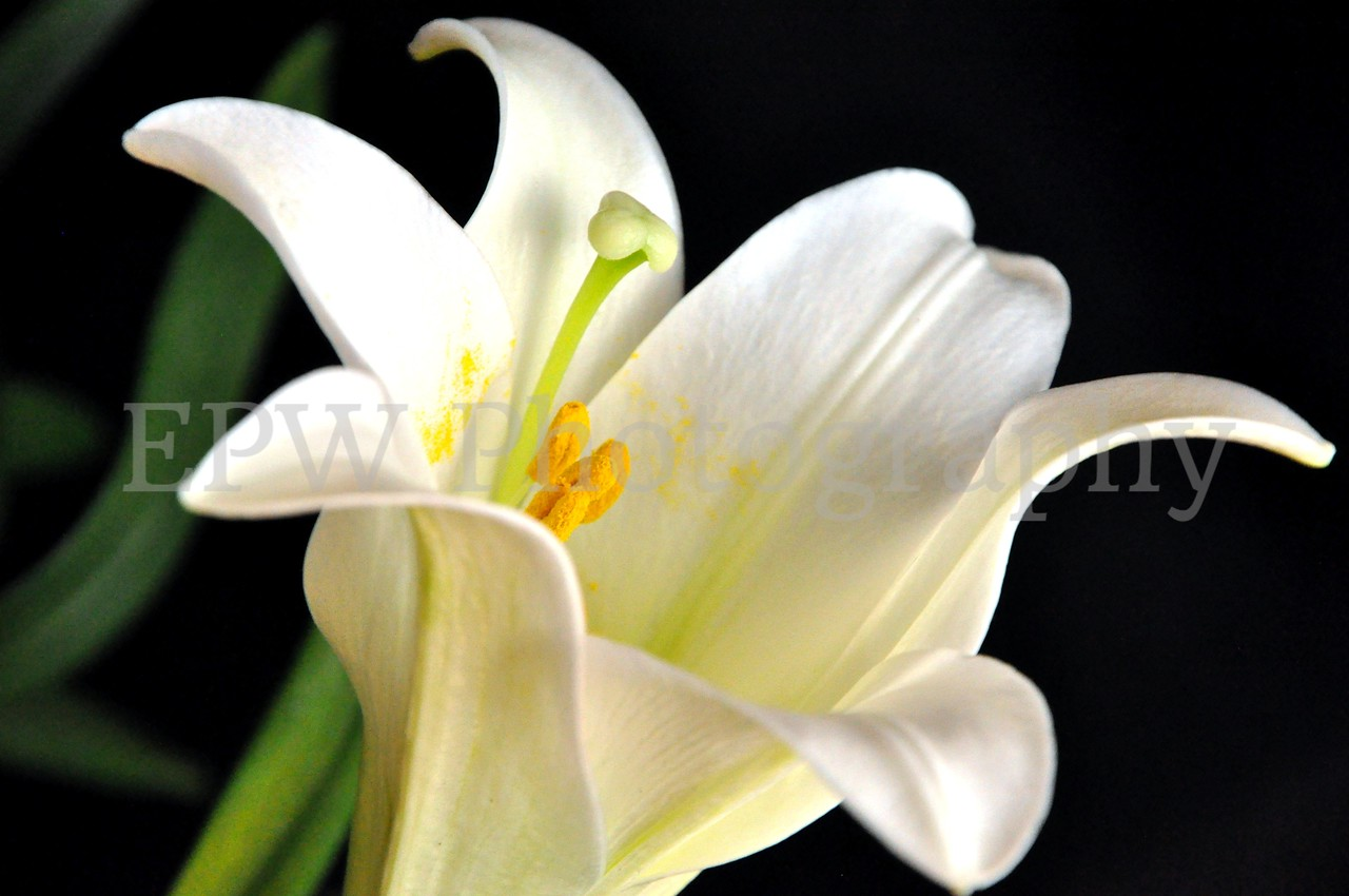 Easter Lily I