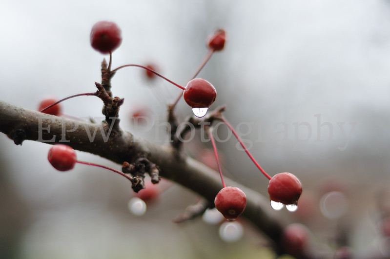 Winter Berries IV