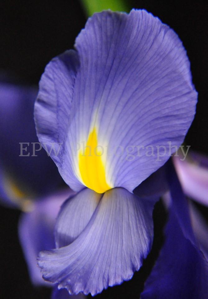 Single Iris II