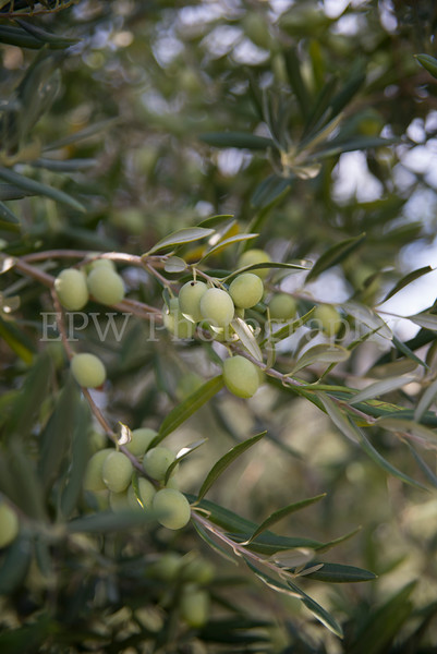 Fratelli Colleti Olive Tree III