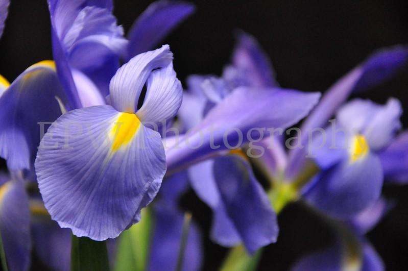 Irises X