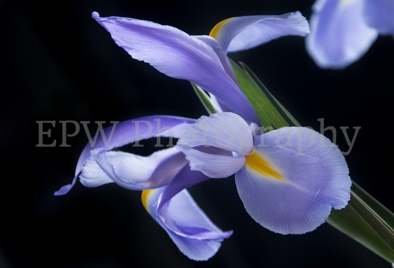 Irises IV