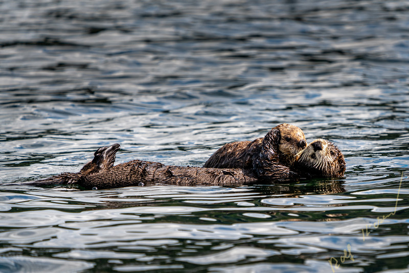 Sea otter (Enhydra lutris) off the northwestern Vancouver Island shore, Cape Scott, British Columbia, Canada.