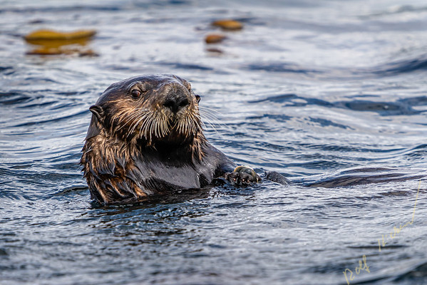 Sea otter (Enhydra lutris) eating a mussel   off the northwestern Vancouver Island shore, Cape Scott, British Columbia, Canada.
