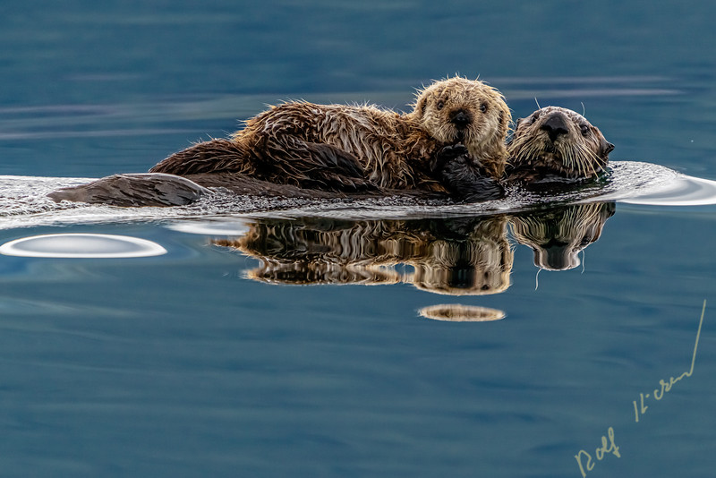 Sea otter (Enhydra lutris) mom with baby a  off the northwestern Vancouver Island shore, Cape Scott, British Columbia, Canada.