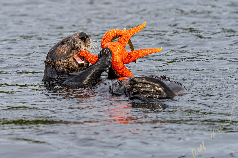 Sea otter (Enhydra lutris) eating a orange starfish off the northwestern Vancouver Island shore, Cape Scott, British Columbia, Canada.
