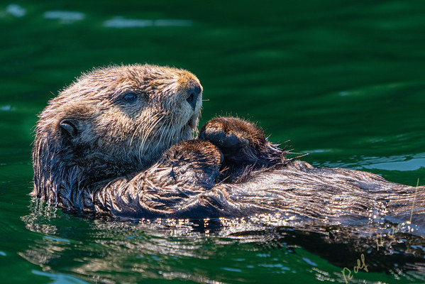 Sea otter off the northwestern Vancouver Island shore, Cape Scott, British Columbia, Canada.