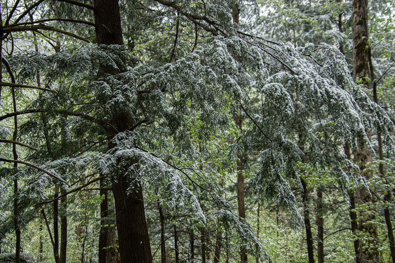 Sugar Frosted Trees