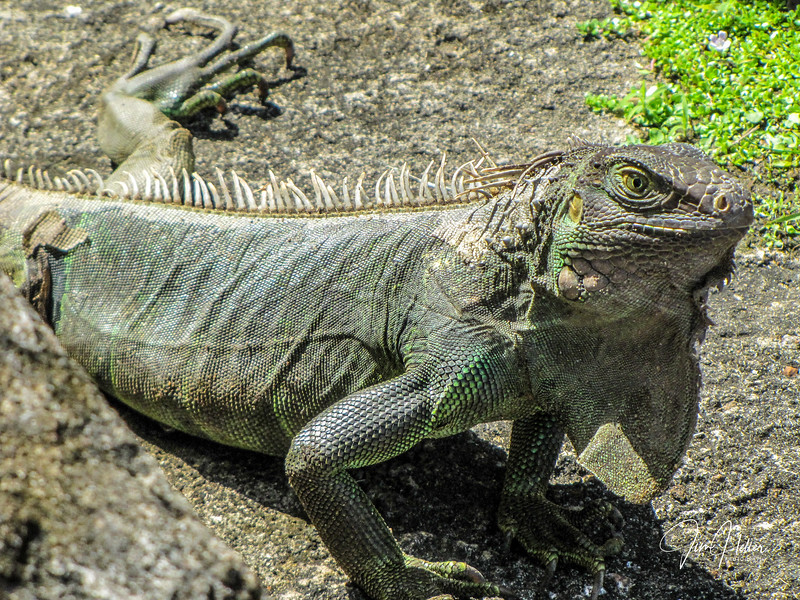 Puerto Rican Iguana