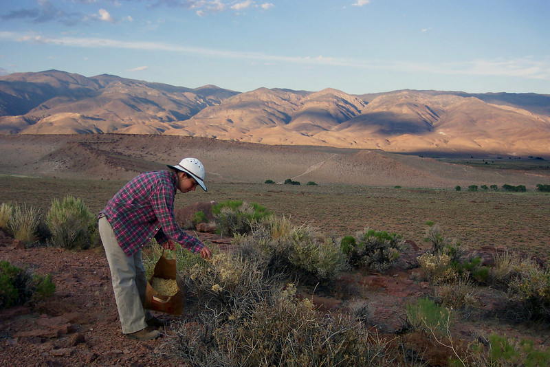 Kate Pavich, an SCA Team Member with the BLM Bishop Field Office (California) collecting seed at the Volcanic Tablelands. Photo by Student Conservation Association.
