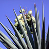 Yucca with seed pods. Photo by Olivia Kwong.