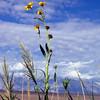 Nuttall's sunflower - Helianthus nuttallii ssp. nuttallii (HENUN). Photo by BLM CA170.