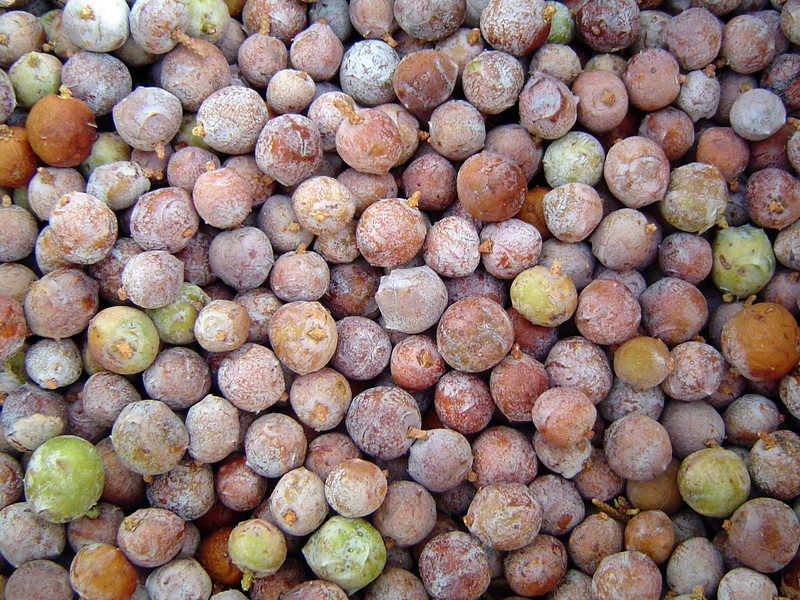 Alligator Juniper (Juniperus deppeana) seed. Photo by Desert Botanical Garden.