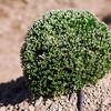 Hooker's sandwort - Arenaria hookeri (ARHO4) in Colorado. Photo by Dale Swenarton.