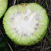 Osage Orange - Maclura pomifera (MAPO) fruit cross-section at TNC, Kansas. Photo by Emily Yates, Chicago Botanic Garden.