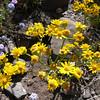 Oak Creek ragwort (Packera quercetorum) in Arizona. Photo by BLM AZ.