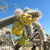 Walkingstick cactus - Cylindropuntia spinosior (CYSP8) in Arizona. Photo by J. Johnson for BLM AZ.