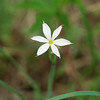 White blue-eyed grass - Sisyrinchium albidum (SIAL3) in flower. Photo by Hilary Cox, CBG.