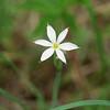 White blue-eyed grass - Sisyrinchium albidum (SIAL3) in flower. Photo by Hilary Cox, CBG.