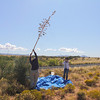 "CBG Interns, Samantha Primer and Sarah Chambliss, collect soaptree yucca (Yucca elata) using the ""shake it and watch'em fly"" method.  If you look closely you can see the seed in the air.  Photo by Mike Howard, BLM-NM."