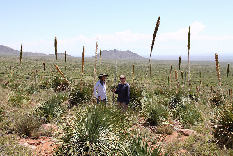 CBG Interns Samantha Primer and Sarah Chambliss inspect a population of common sotol (Dasylirion wheeleri) early in their internships.  Common sotol eventually became an SOS collection (NM930-149).  Photo by Mike Howard, BLM-NM.