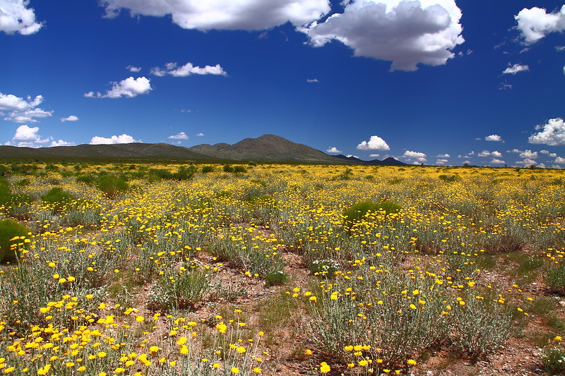 "A golden field of desert marigold (Baileya multiradiata).  This population, which eventually became SOS collection NM930-112, was named ""the yellow spot"".  When the flowers opened, it just appeared one day as a bright yellow area (spot) about a mile from the highway.  Photo by Mike Howard, BLM-NM."