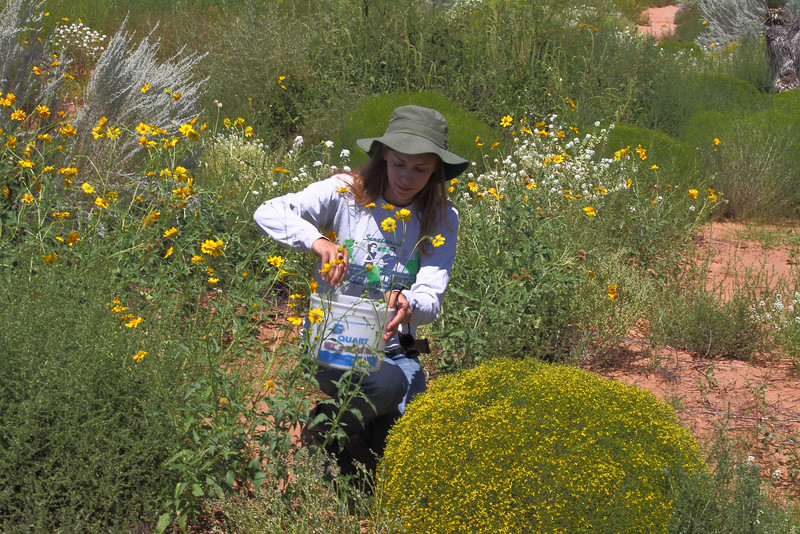 CBG Intern, Samantha Primer collects golden crownbeard (Verbesina encelioides) near Las Cruces, NM.  Photo by Mike Howard, BLM-NM.