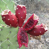 Cactus apple - Opuntia engelmannii (OPEN3) fruits including a bisected fruit. Photo by UAH for BLM AZ.