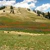 Giant red Indian paintbrush - Castilleja miniata (CAMI12) growing in Utah. Photo by BLM UT.