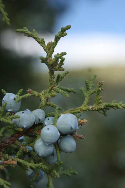 Utah juniper - Juniperus osteosperma (JUOS) collected in Wyoming. Photo by BLM WY.