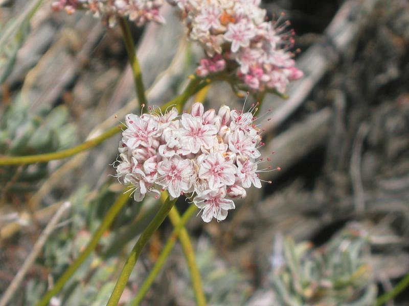 Eastern Mojave buckwheat - Eriogonum fasciculatum (ERFA2) flowering in California. Photo by BLM CA.