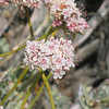 Eastern Mojave buckwheat - Eriogonum fasciculatum (ERFA2) flowering in California. Photo by BLM CA.