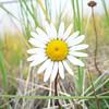 Arctic daisy - Chrysanthemum arcticum (CHAR13)