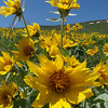 Arrowleaf balsamroot - Balsamorhiza sagittata (BASA3) in Wyoming. Photo by BLM WY.
