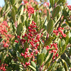 Toyon - Heteromeles arbutifolia (HEAR5) collected in California. Photo by BLM CA.