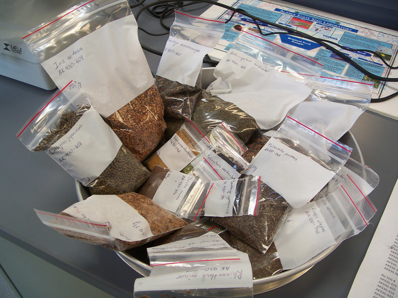 Seed collected by AK930 at the Alaska Plant Materials Center. Photo by BLM AK.