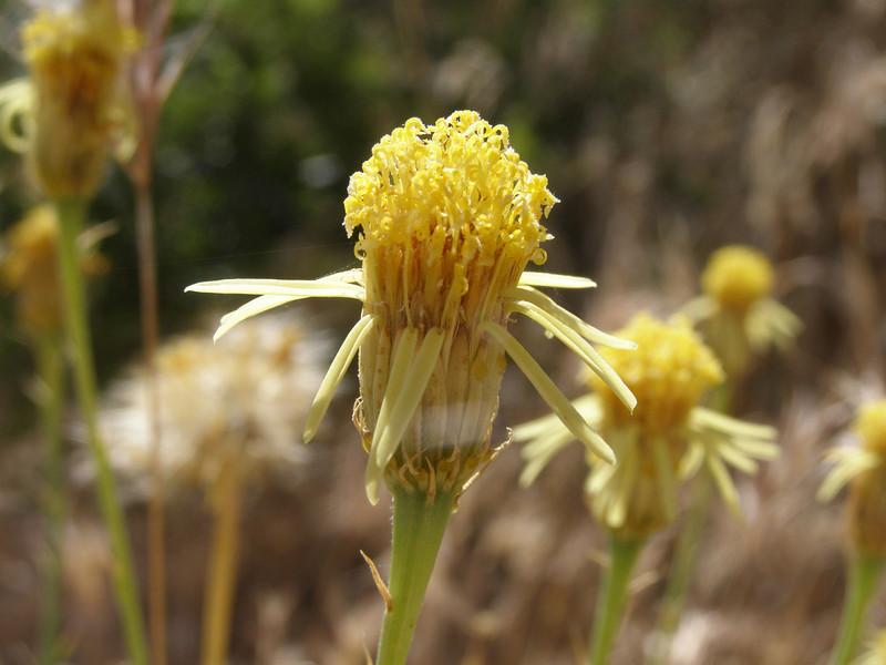 Cooper's dogweed - Adenophyllum cooperi (ADCO2) flowers in Arizona. Photo by BLM AZ.