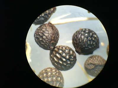 Flatbud pricklypoppy - Argemone munita ssp. rotundata (ARMUR) seed collected in Nevada viewed by a microscope. Photo by BLM NV.