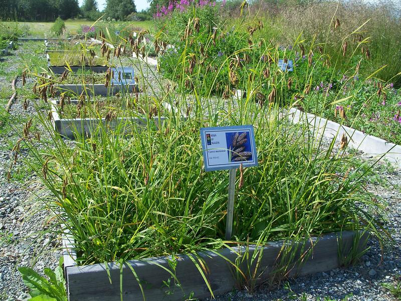 Alaska Plant Materials Center's Seeds of Success collection plots.
