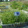 Alaska Plant Materials Center's Seeds of Success collection plots.