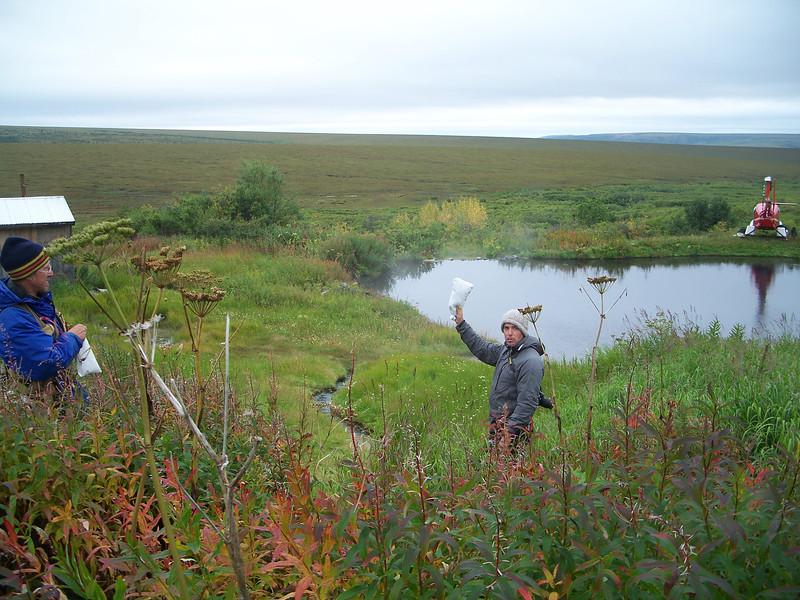 Common cowparsnip - Heracleum maximum (HEMA80) collecting in Alaska. Photo by BLM AK.
