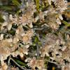 MD-001-12 Pseudognaphalium obtusifolium seed