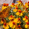 A fritillary butterfly on plains zinnia (Zinnia grandiflora [Asteraceae]) – pollinators make the world go 'round. Photo by Mike Howard, BLM New Mexico