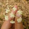 common yampah - Perideridia gairdneri subsp. borealis (PEGAB)