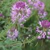 Rocky Mountain beeplant - Cleome serrulata (CLSE)