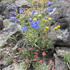 rayless shaggy fleabane - Erigeron aphanactis (ERAP)